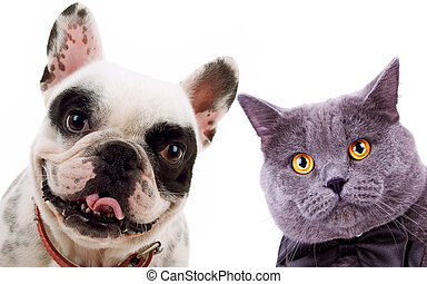 British short hair grey cat and french bull dog puppy dog -...