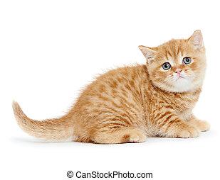 british, shorthair, 고양이 새끼, 고양이