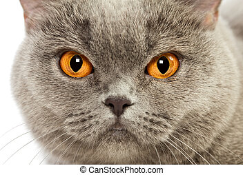 British Shorthair Cat - blue british shorthair cat, close up...