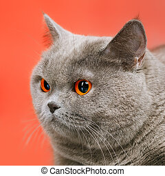 British Shorthair Cat - blue british shorthair cat, on red ...