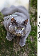 british shorthair cat climbing on the tree