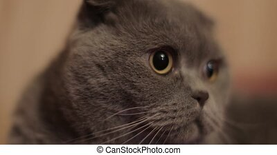 British shorthair cat close-up