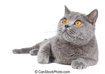 British Shorthair cat isolated - British shorthair grey cat ...