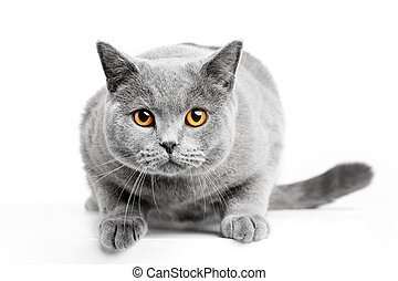 British Shorthair cat isolated on white. Hunting