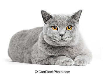British Shorthair cat isolated on white. Lying