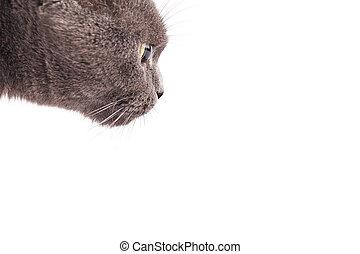 British Shorthair cat isolated on white.