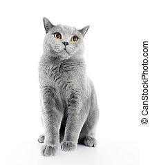 British Shorthair cat isolated on white. Sitting