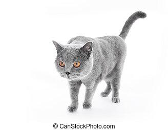 British Shorthair cat isolated on white. Walking