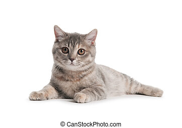 British Shorthair cat isolated - One british shorthair brown...