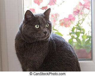 british shorthair cat on window