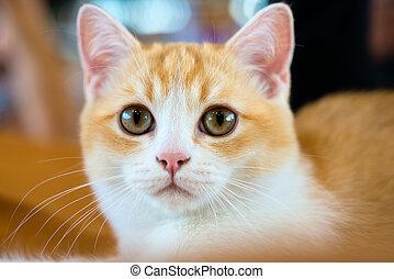 Animals: close-up portrait of young British shorthair bicolour cat