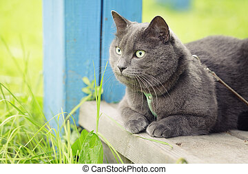 british shorthair cat si on veranda