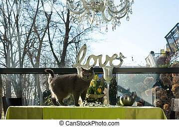British shorthair cat standing on the table