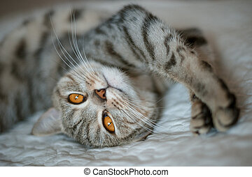 British Shorthair cat with yellow eyes lying on the bed