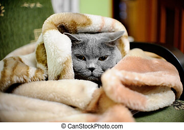 British shorthair cat wrapped in blanket