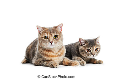 British Shorthair cats isolated - two british shorthair ...