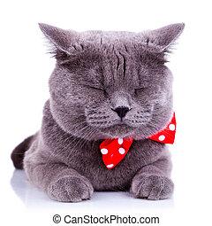 British shorthair grey cat sleeping