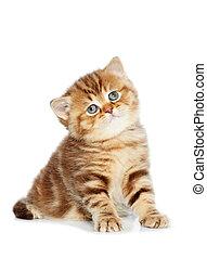 One british shorthair brown kitten cat isolated