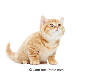 British Shorthair kitten cat isolated