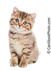 British Shorthair kitten cat isolated