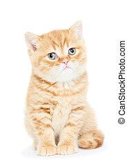 British Shorthair kitten cat