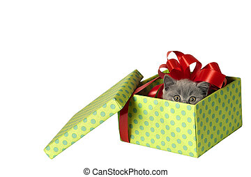 British Shorthair kitten in a gift box with space for text.