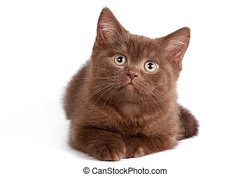 British Shorthair kitten on white background