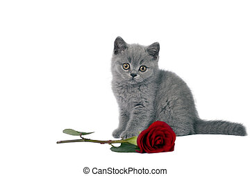 British Shorthair kitten with a red rose.