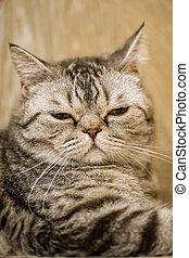 British shorthaired tabby cat closing its eyes