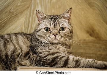 British shorthaired tabby cat looking in camera