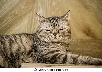 British shorthaired tabby cat with closed eyes