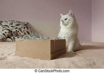 British silver colored cat sitting on a bed with opened box for gift
