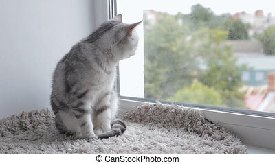 British tabby cat is sitting on window sill - British tabby...