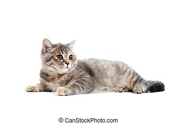 brits, shorthair, kat, vrijstaand