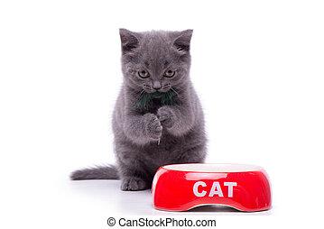 brits, shorthair, weinig; niet zo(veel), kat, vrijstaand