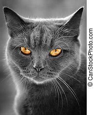 britský, kočka