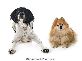 brittany dog and spitz in front of white background
