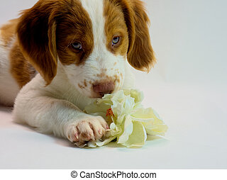 beautiful brittany puppy smelling a pretty flower