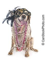brittany dog in studio
