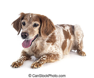 brittany dog in front of white background