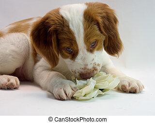 brittany puppy flower power
