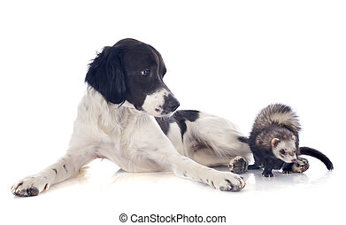 brittany spaniel and ferret - portrait of a brittany spaniel...