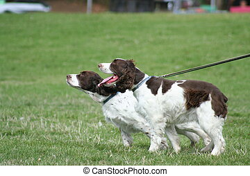 Brittany Spaniel outside in a park.