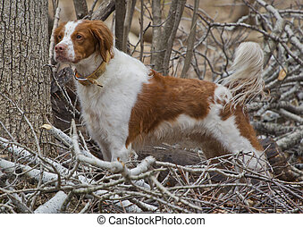 A brown and white Brittany Spaniel dog standing at attention in the woods. This is a rare adutl as it has its tail in tact.