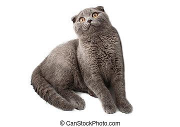 brittisk, shorthair, katt