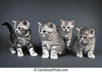 brittisk, shorthair, kattungar
