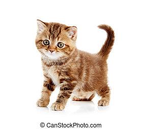 brittisk, shorthair, kattunge, katt, isolerat