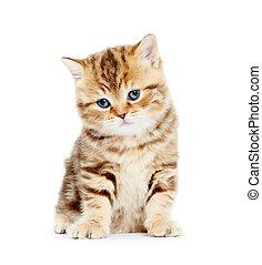 brittisk, shorthair, kattunge, katt