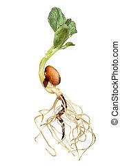 Broad bean closeup - Closeup of a newly germinated broad...