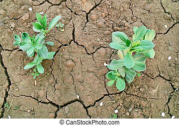 Broad bean seedlings on the farmland